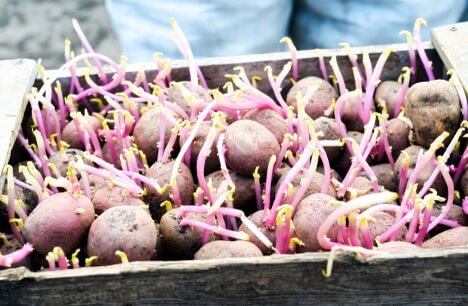 Подготовка семенного материала картофеля
