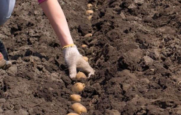 Правила посадки картофеля