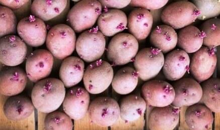 Проращивание картофеля Розара