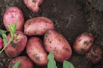 Сорт картофеля Агнес