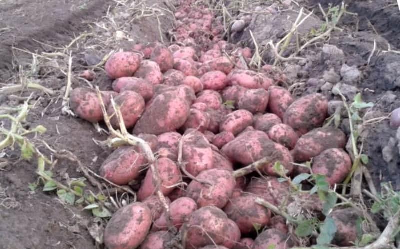 Урожайность сорта Розара