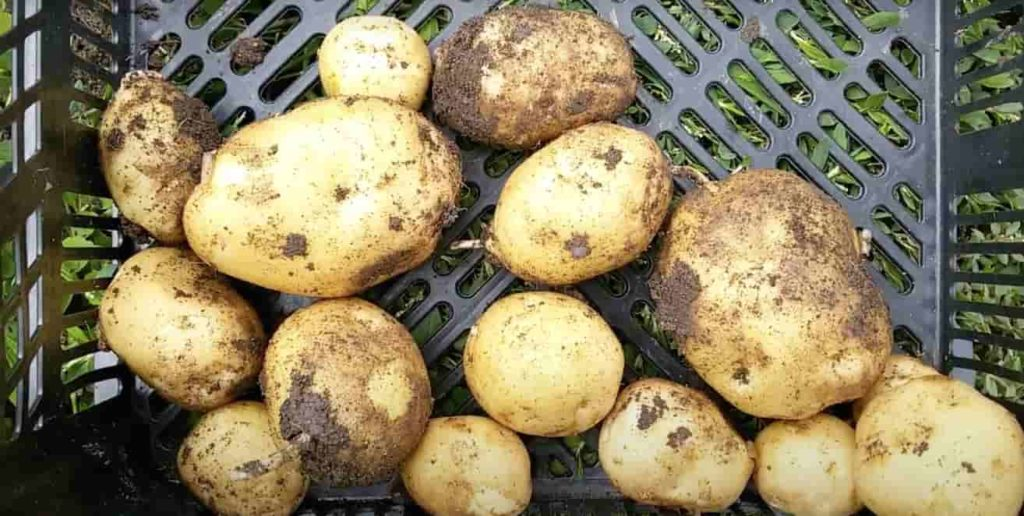 Урожайный картофель Венета