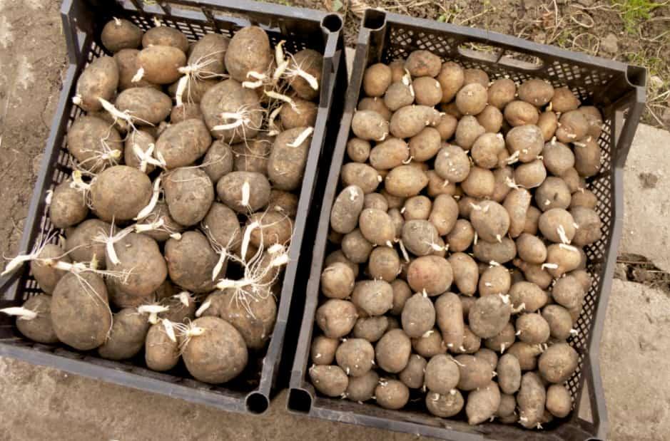 Как сохранить семенной картофель до весны
