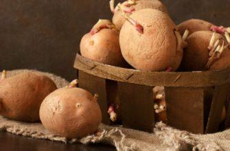 Проросший картофель можно ли есть
