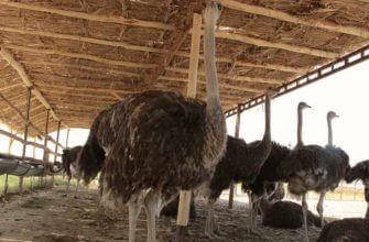 Как развести страусов в домашних условиях