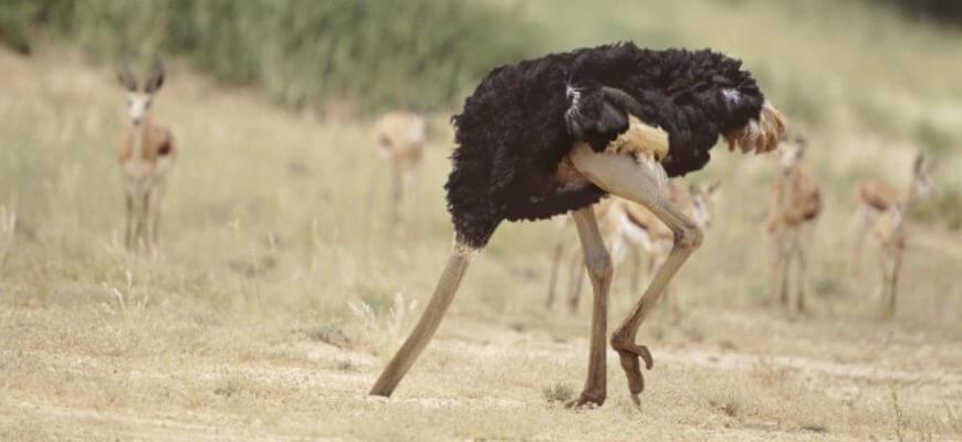 Прячут ли страусы голову в песок