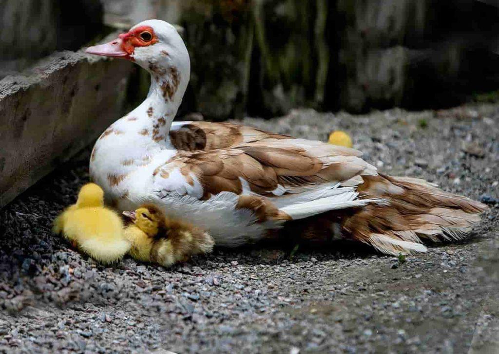 Мускусная утка: описание породы и особенности её содержания. Породы мускусных уток с фотографиями и описанием