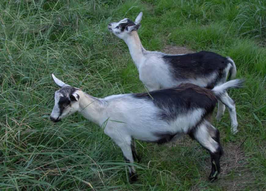 Альпийская молочная коза