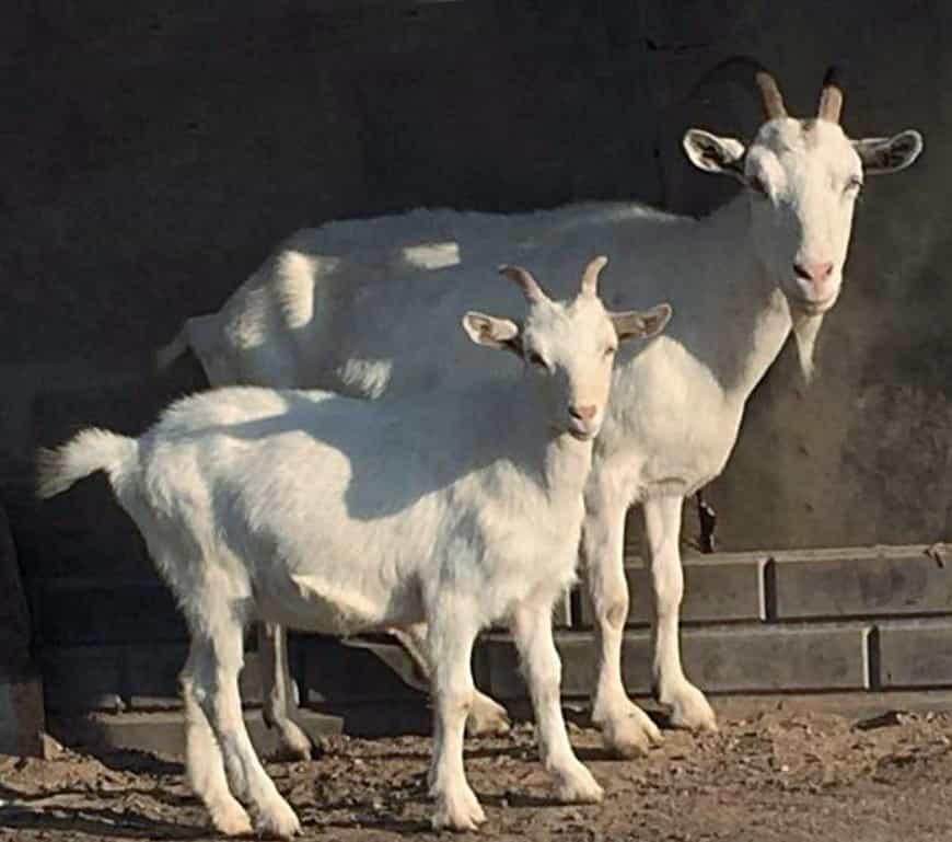 Горьковская порода коз