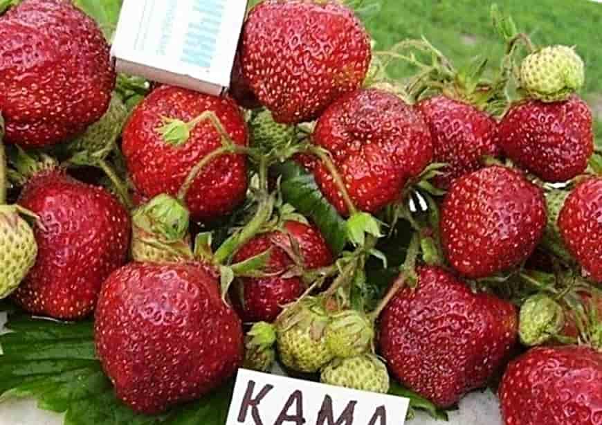 Клубника Кама