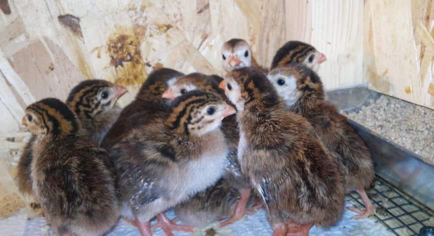Кормление цыплят цесарок