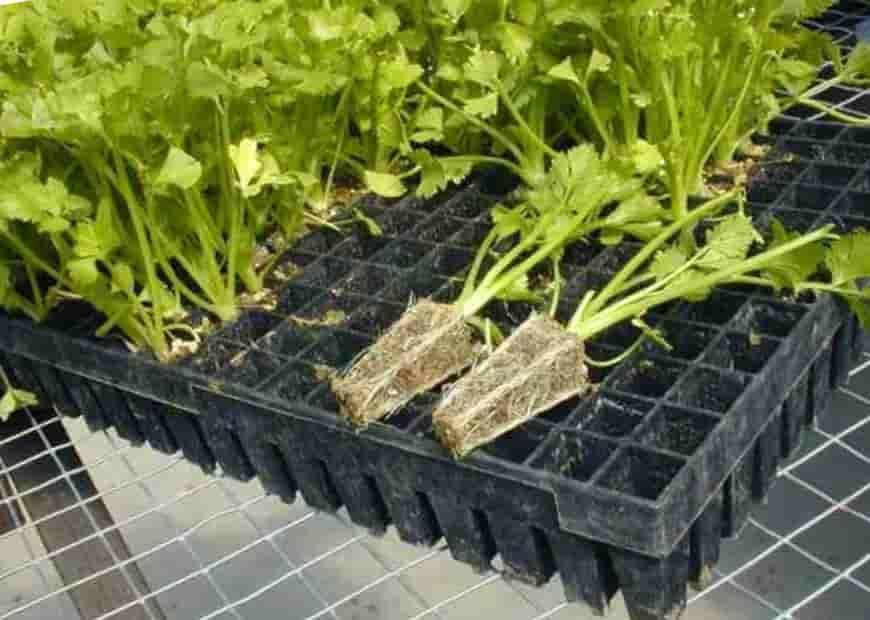 Как вырастить корневой сельдерей из семян