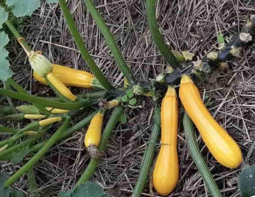 Сорта кабачков Золотой ключик