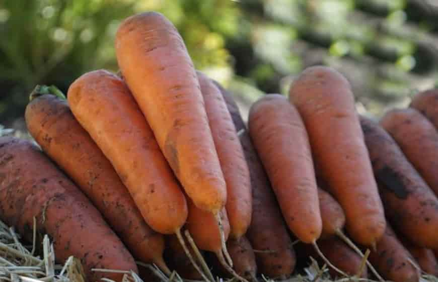 Сорт моркови Анастасия F1