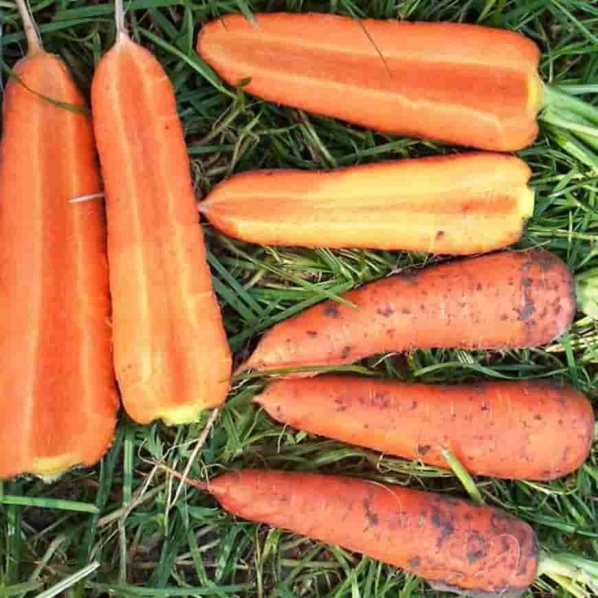 Сорт моркови Вита Лонга