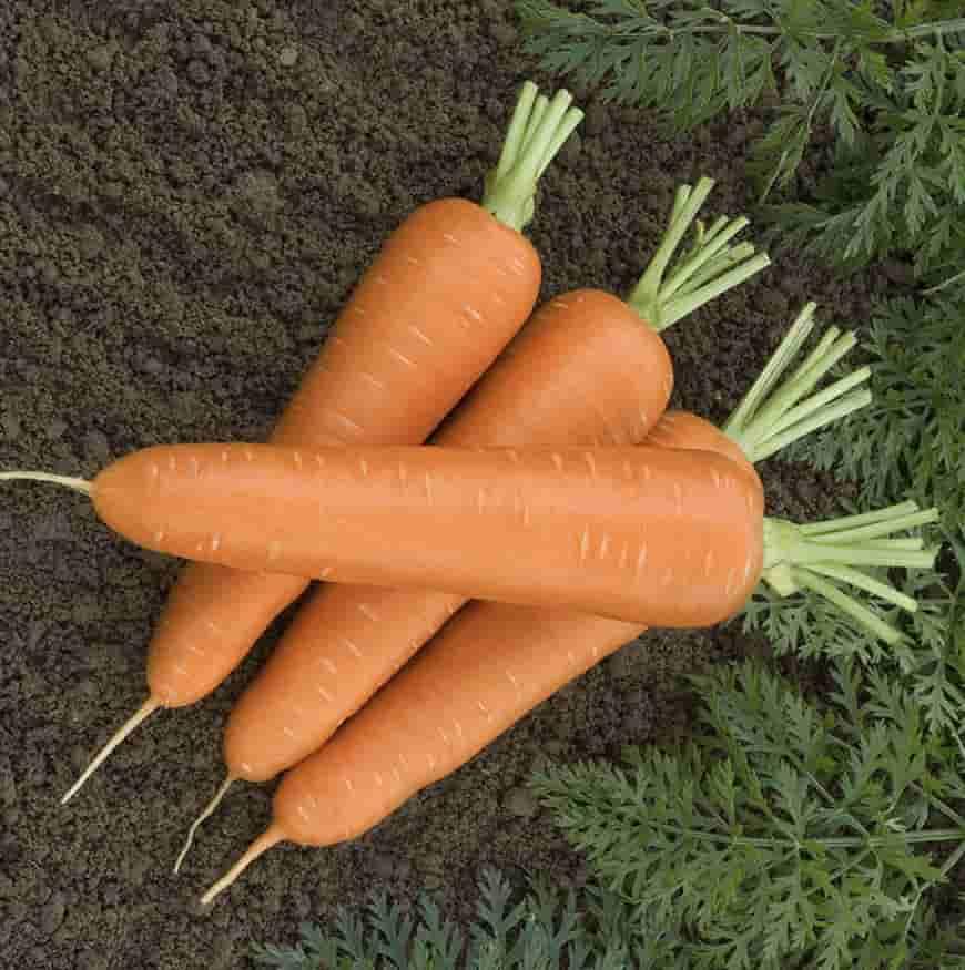 Сорт моркови Канада F1