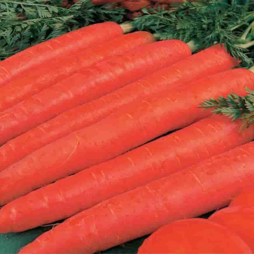 Сорт моркови Красный великан