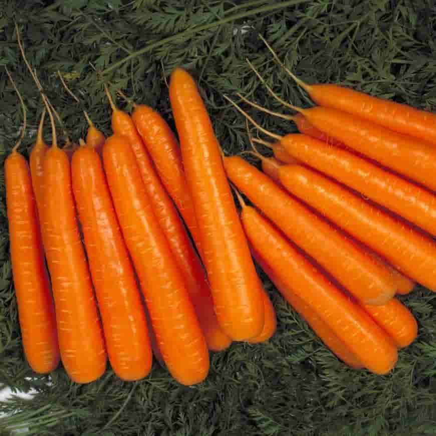 Сорт моркови Лагуна F1