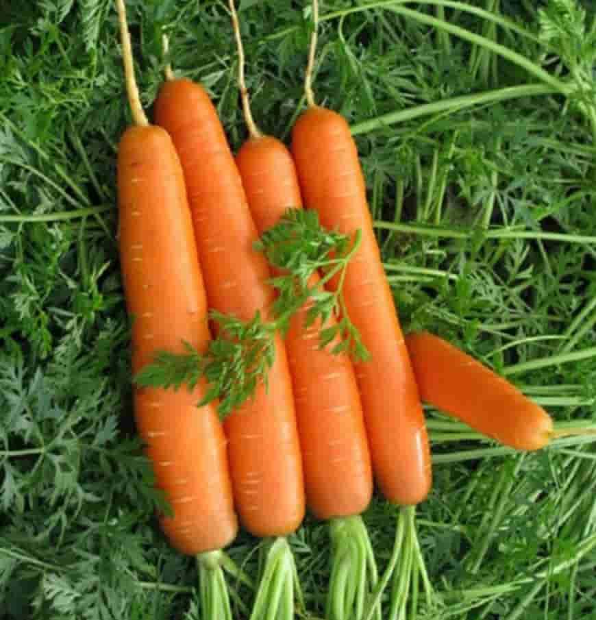Сорт моркови Леночка