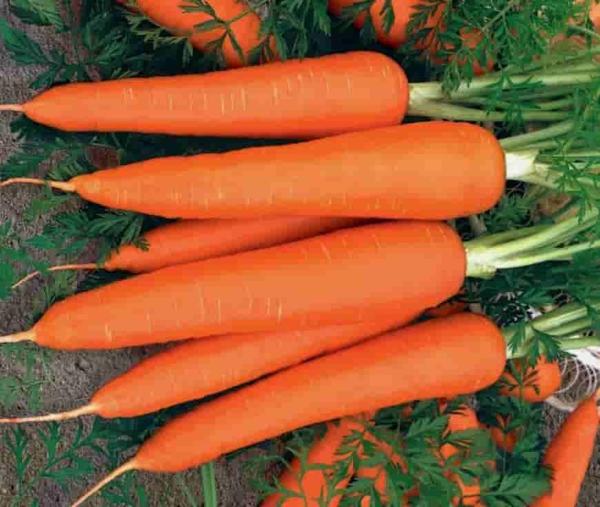Сорт моркови Лидия F1