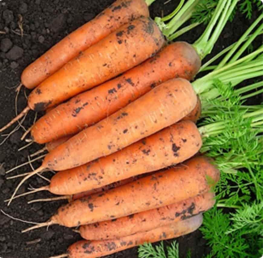 Сорт моркови Микуловская