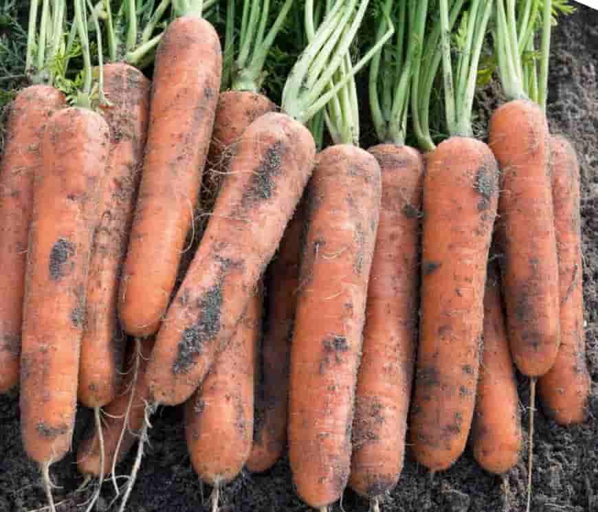 Сорт моркови Миникор F1