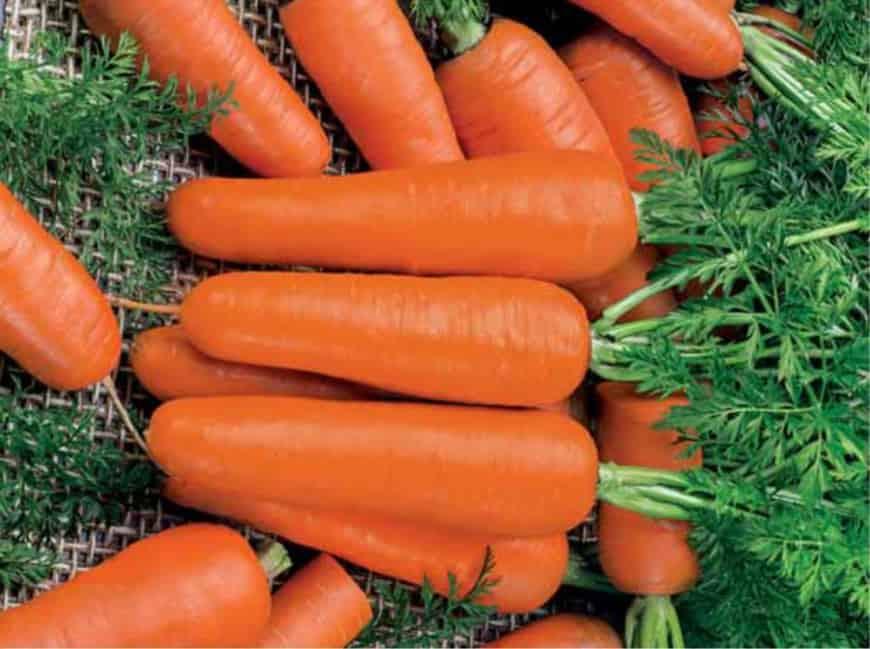 Сорт моркови Московская зимняя А 515