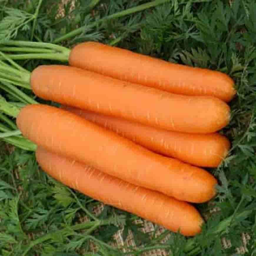 Сорт моркови Нандрин F1