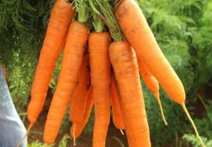 Сорт моркови Несравненная