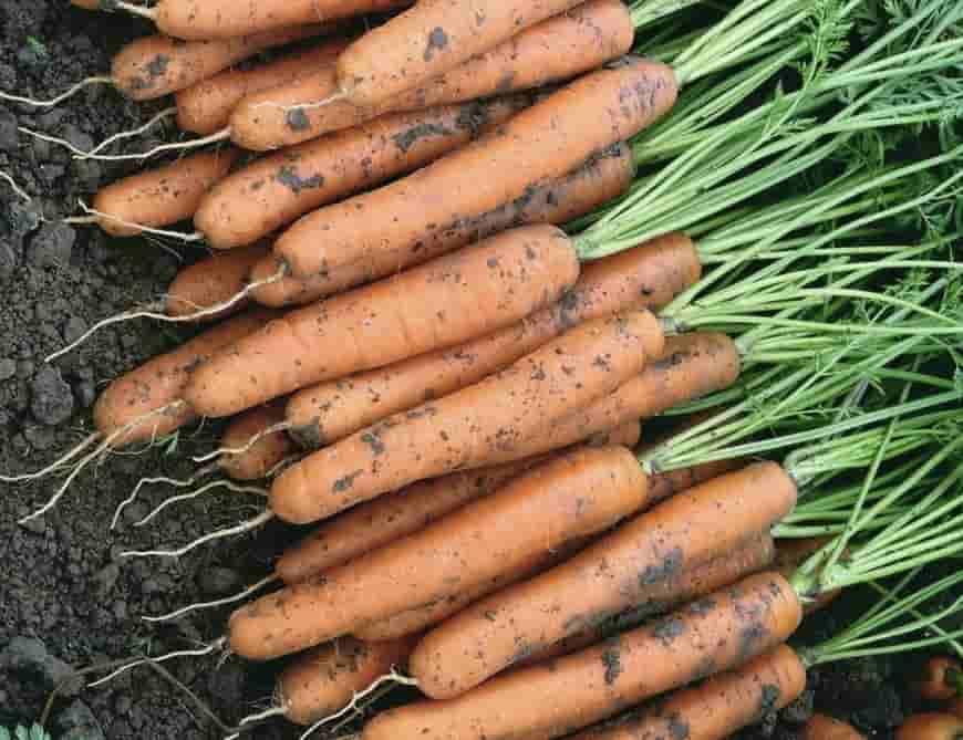 Сорт моркови Ньюс F1