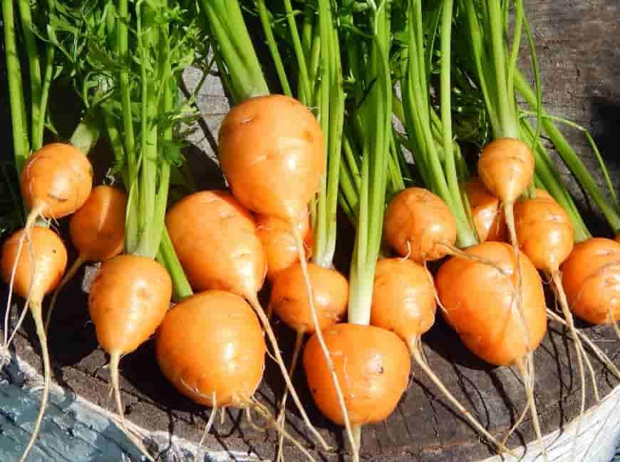 Сорт моркови Пармекс