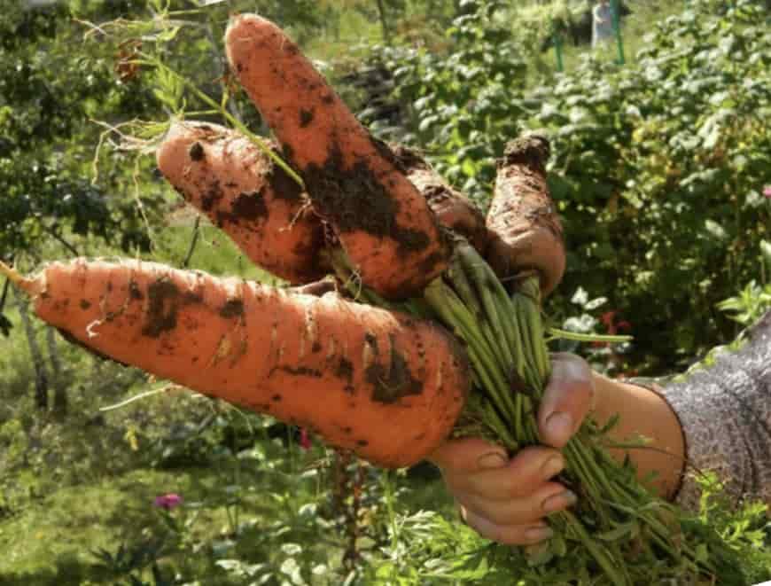 Сорт моркови Русский размер