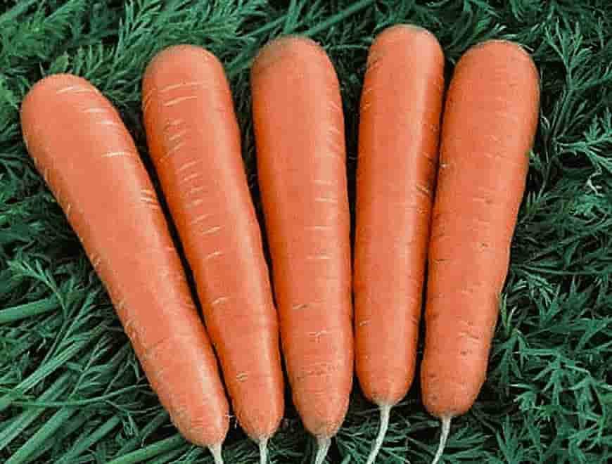 Сорт моркови Фея