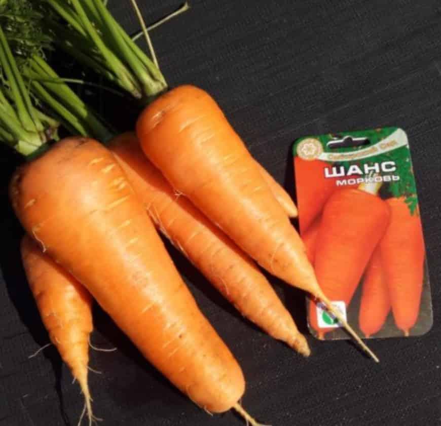 Сорт моркови Шанс