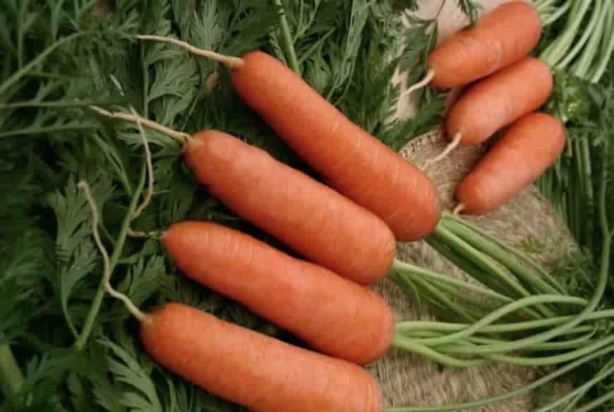 Сорт моркови Шанте Роял