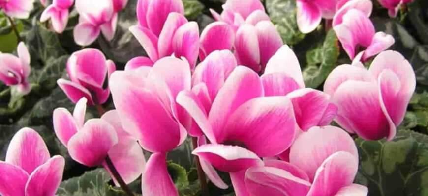 Цикламен цветок: как ухаживать в домашних условиях