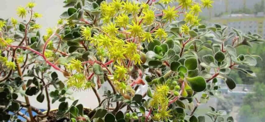 Аихризон комнатный цветок фото уход размножение