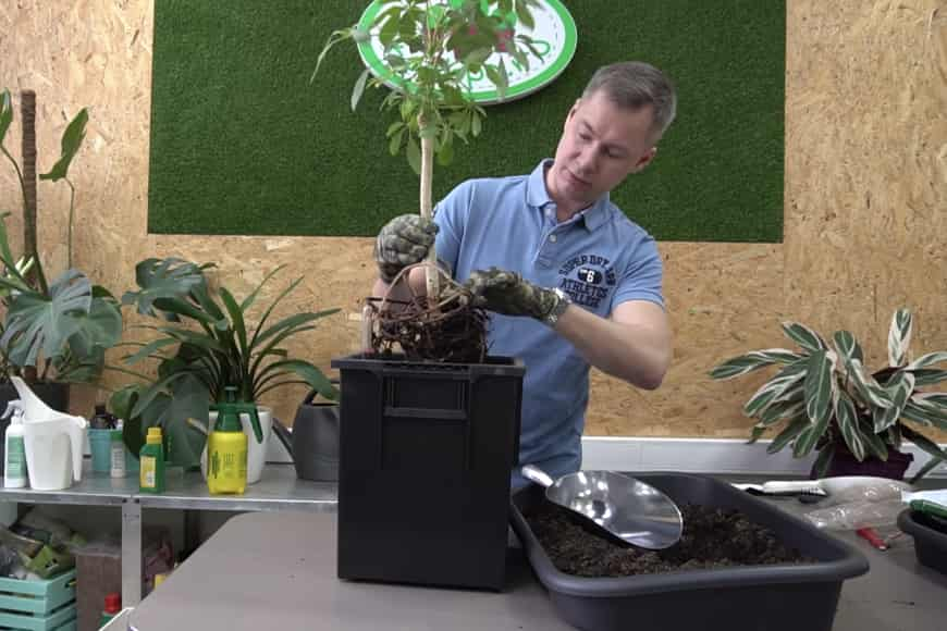 Грунт для выращивания цветка шеффлера