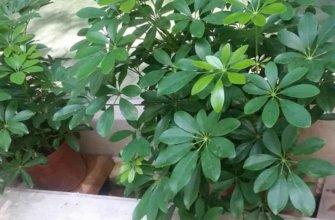 Шеффлера (Schefflera) комнатное растение
