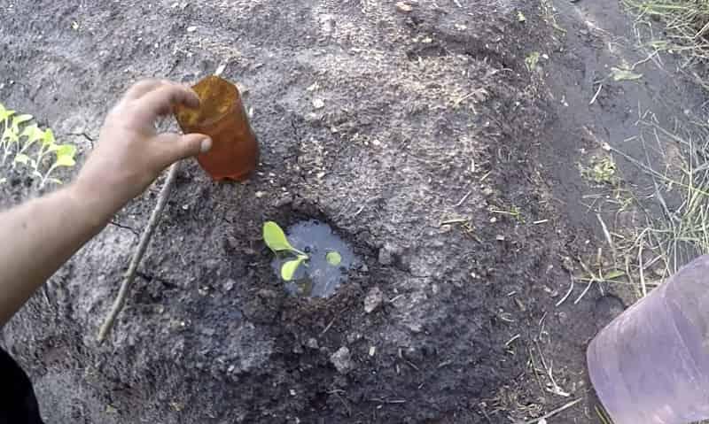Высаживание табака в открытый грунт
