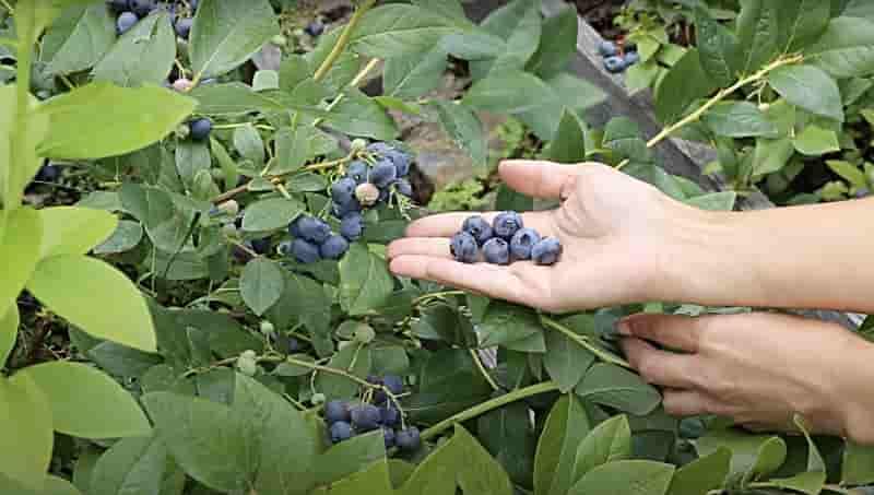 Голубика садовая выращивание
