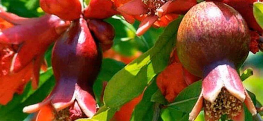 Гранат из косточки в домашних условиях выращивание в горшке