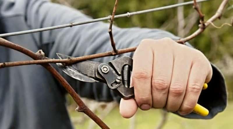 Инструмент для обрезки винограда