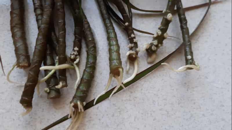 Как размножить драцену стеблевыми черенками