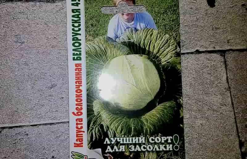 Капуста сорт Белорусская