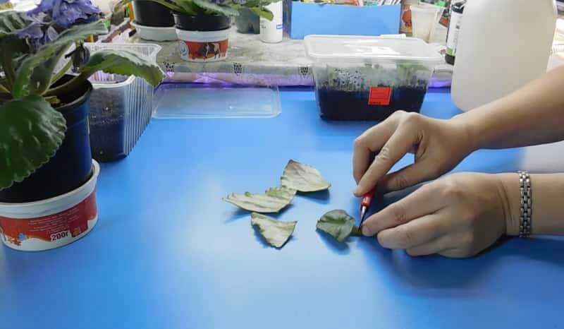 Размножение фиалки сегментами