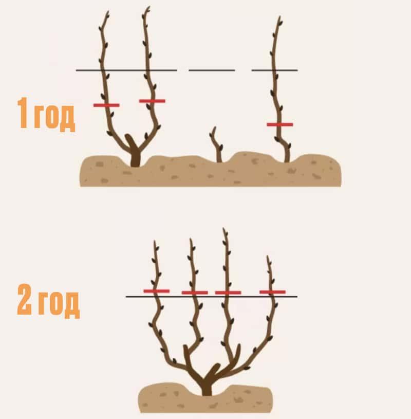 Технология обрезания винограда