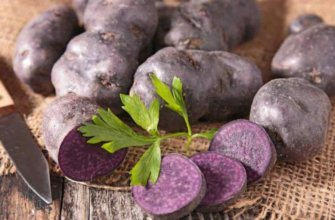 Фиолетовая картошка