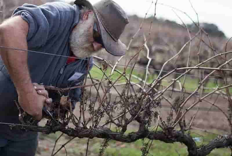 Формирование и обрезка виноградных кустов