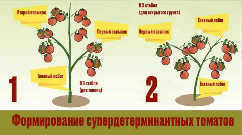 Формирование супердетерминантных томатов